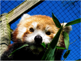 Photo: Red Panda, Trevor Zoo at Millbrook School