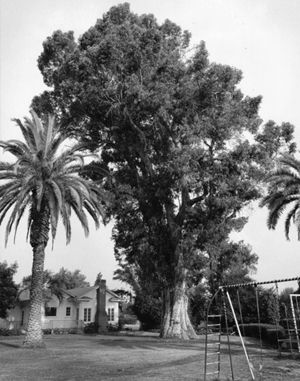 A giant eucalyptus tree with a 12' radius trunk was the early symbol of the school.