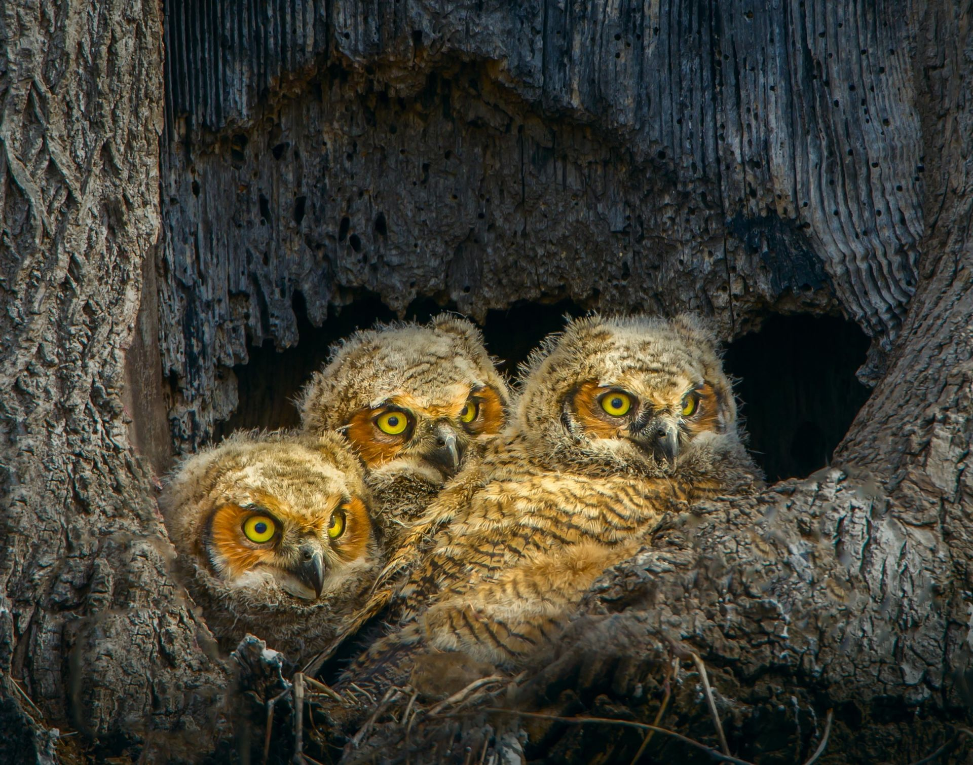 Jerry amEnde- Great Horned Owlets