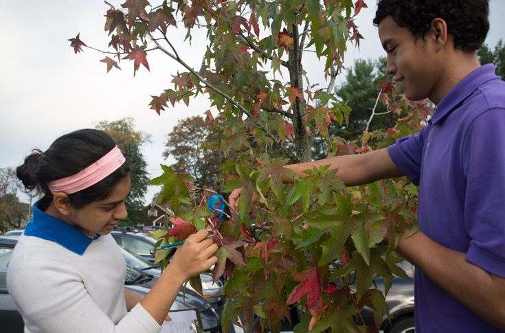 Grade 9 students collect data for the Buds, Leaves and Global Warming project with Harvard Forest.