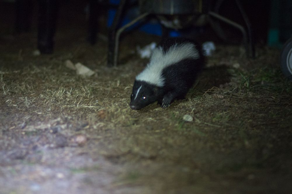 A hungry midnight visitor in our camp!