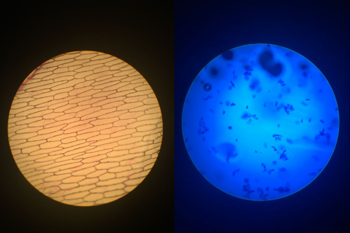 Onion and human cells observed through a microscope. Photos by Chenoa Cameron-Lewis '17.