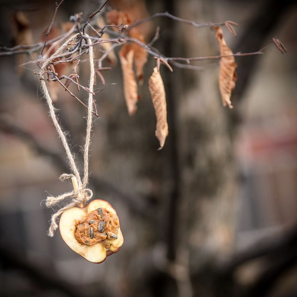 A bird feeder made out of an apple and peanut butter hangs on a tree.