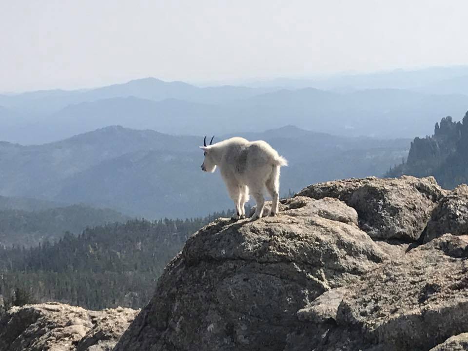 Mountain goat on Black Elk Peak