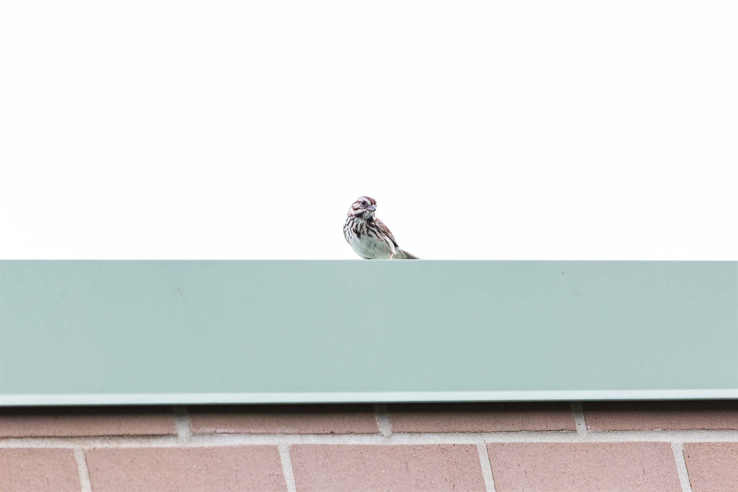 This song sparrow spent a lot of time on the roof over the middle school English room. He was there most mornings around 10 am.