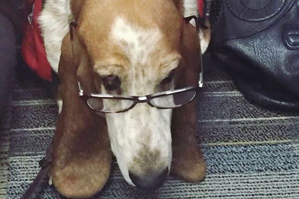 READing Paws basset hound with glasses