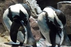 Students studied the behavior of penguins like these preening African penguins, pictured at the New England Aquarium in Boston, Massachusetts.