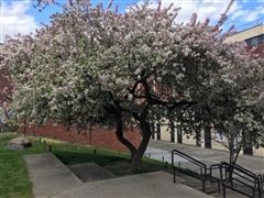 Photo of the Lexington playground tree in bloom, courtesy of Steve Kipp.