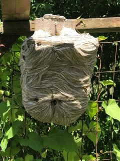 Remodeling by the paper wasps!