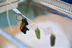 A monarch butterfly emerged in Shore's SAIL classroom