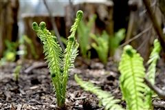 In spring, ferns unfurled in the Inspiration Garden