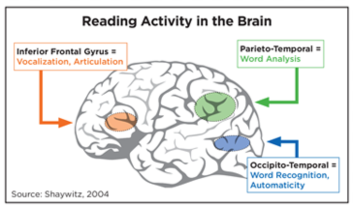 reading activity in the brain