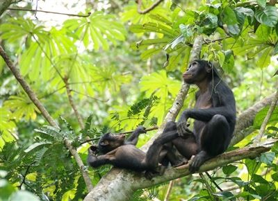 A mother bonobo and her infant. Photo by Takeshi Furuichi