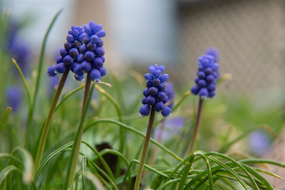 Grape hyacinth in bloom.