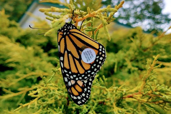 Emerged monarch butterfly, with a sticker tag for tracking.
